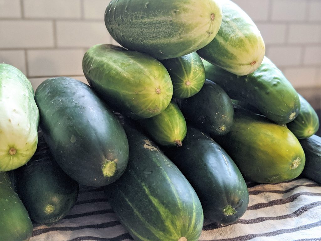 Cucumbers today, refrigerator dill pickles tomorrow.
